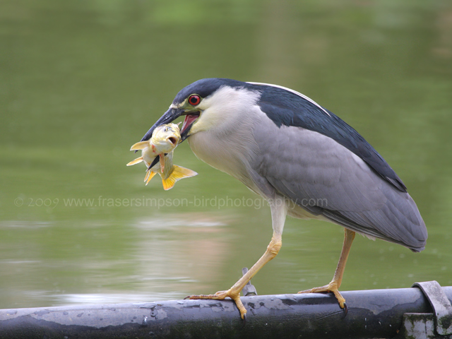Black-crowned Night-heron, Peru