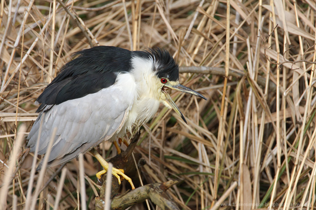Night Heron © 2009 Fraser Simpson