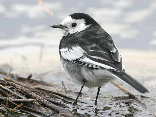 Pied Wagtail © 2007 Fraser Simpson