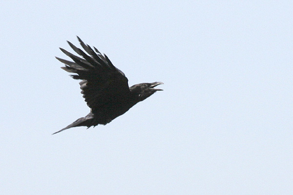 Common Raven © 2005 Fraser Simpson