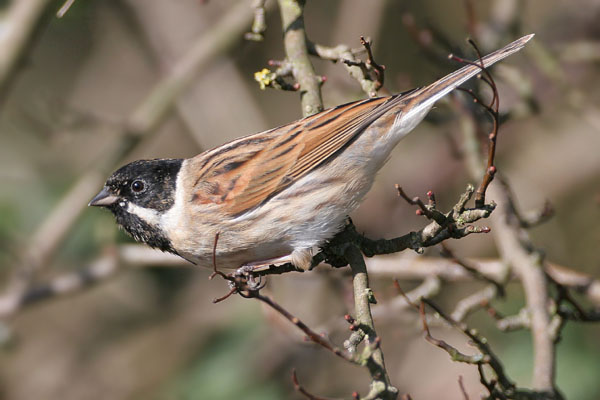 Reed Bunting © 2006 Fraser Simpson