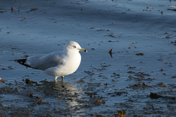 Ring-billed Gull © 2006 Fraser Simpson