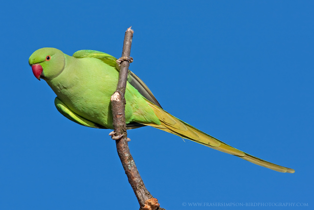 Ring-necked Parakeet, England