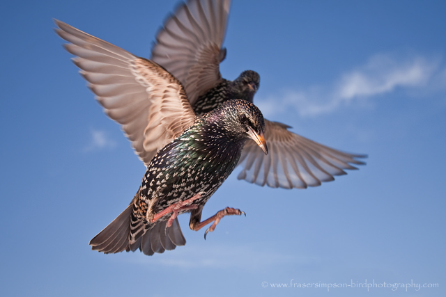 Common Starling © 2010 Fraser Simpson