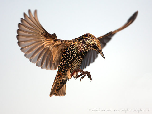 Common Starling © 2009 Fraser Simpson