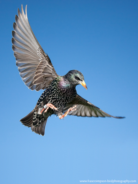 European Starling, England
