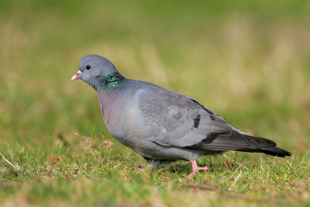Stock Dove © 2007 Fraser Simpson