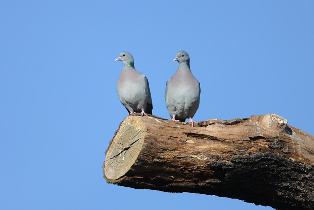 Stock Dove © 2008 Fraser Simpson