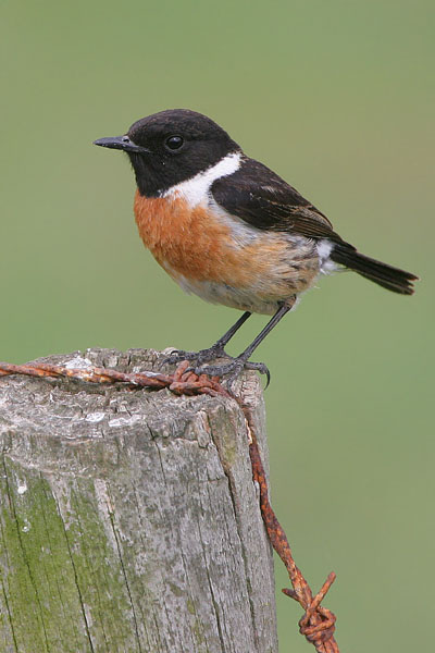 Common Stonechat © 2005 Fraser Simpson