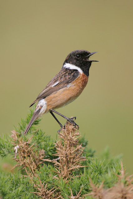 Common Stonechat © 2007 Fraser Simpson