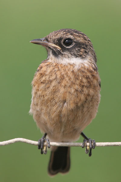 Common Stonechat © 2006 Fraser Simpson