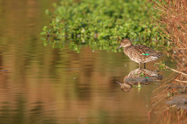 Common Teal © 2007 Fraser Simpson