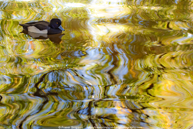 Tufted Duck  © 2013 Fraser Simpson