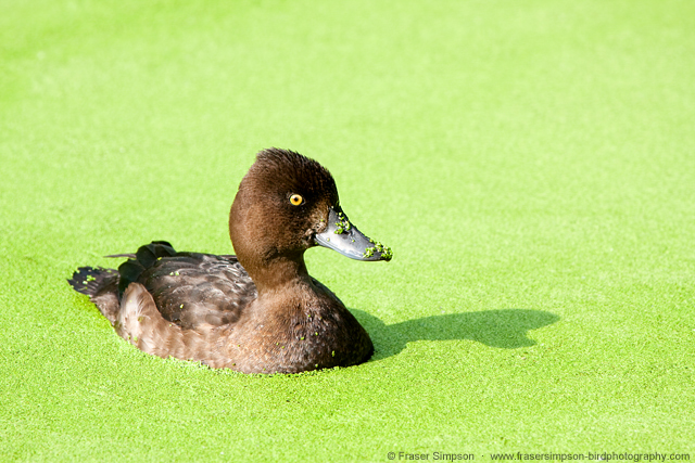 Tufted Duck  © 2014 Fraser Simpson