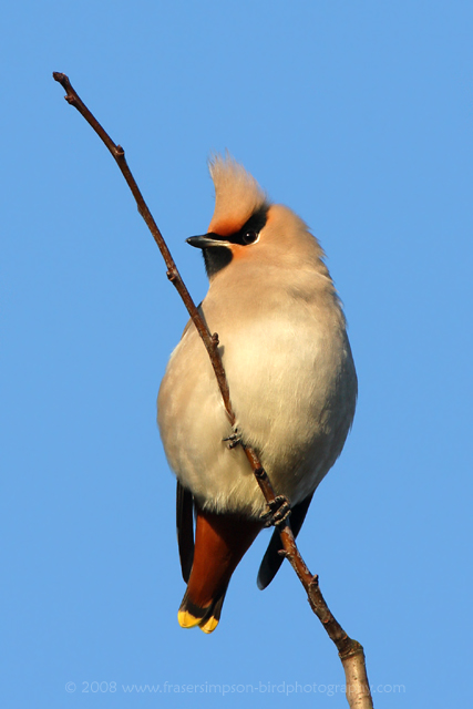Waxwing © 2008 Fraser Simpson