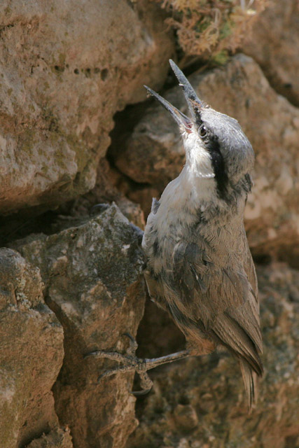 Western Rock Nuthatch © 2005 Fraser Simpson