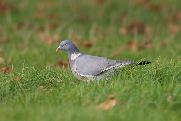 Wood Pigeon © 2006 Fraser Simpson