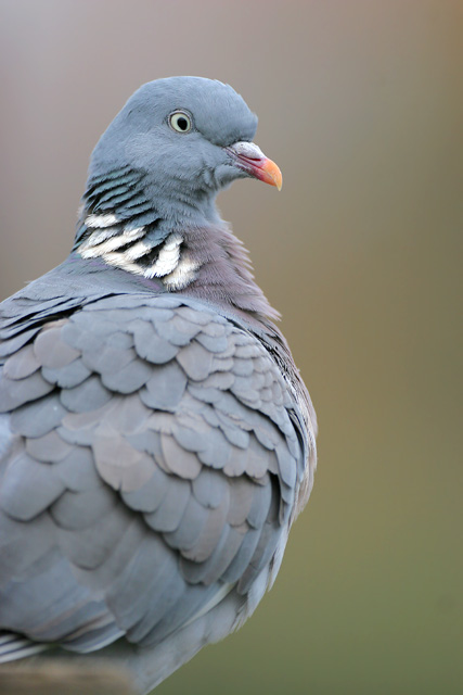 Wood Pigeon © 2007 Fraser Simpson