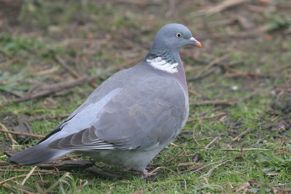 Wood Pigeon © 2005 Fraser Simpson