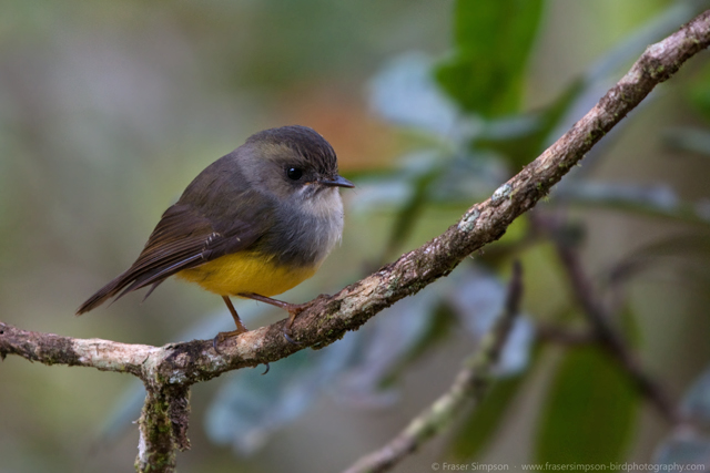 Yellow-bellied Flyrobin © 2012 Fraser Simpson