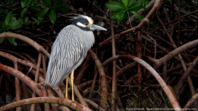 Yellow-crowned Night-Heron © 2014 Fraser Simpson
